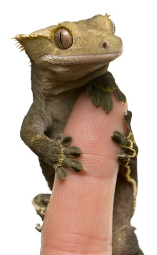 How to Handle a Crested Gecko: Helpful Tips for Owners