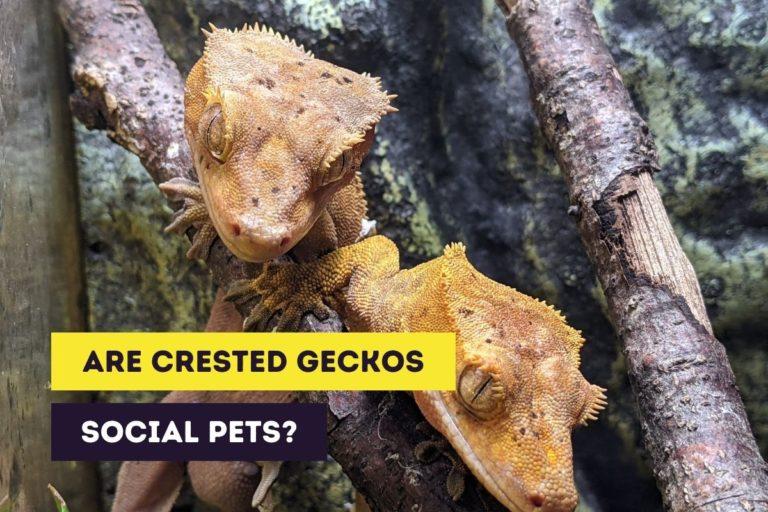 Are Crested Geckos Social Pets? (Social Behavior)