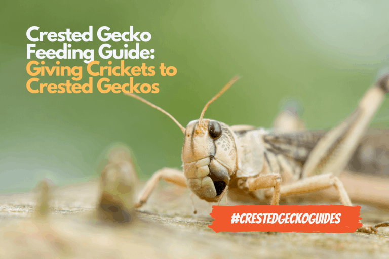 Cricket Feeding Guide: How to Feed Crickets to Your Crested Gecko?