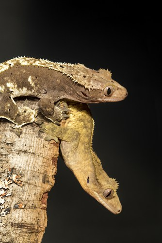 How Many Crested Geckos Can Live Together? | My Crested Gecko