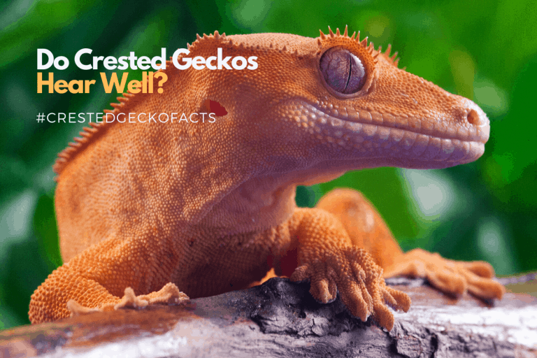 Do Crested Geckos Hear and Are They Sensitive to Sound?