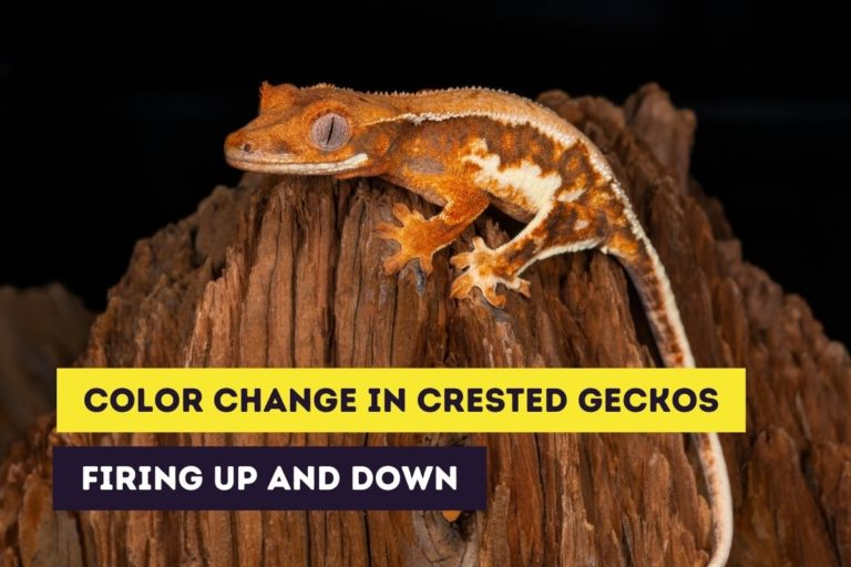 Color Change in Crested Geckos: Firing Up and Down