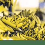 banana gecko view