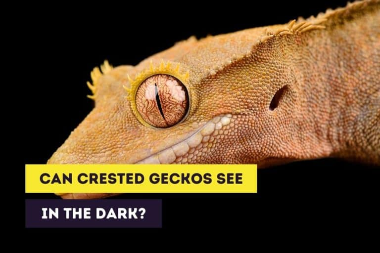 Can Crested Geckos See in the Dark and How Well Do They See?