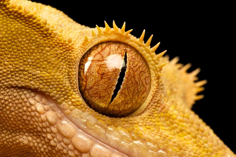 crested gecko eyes
