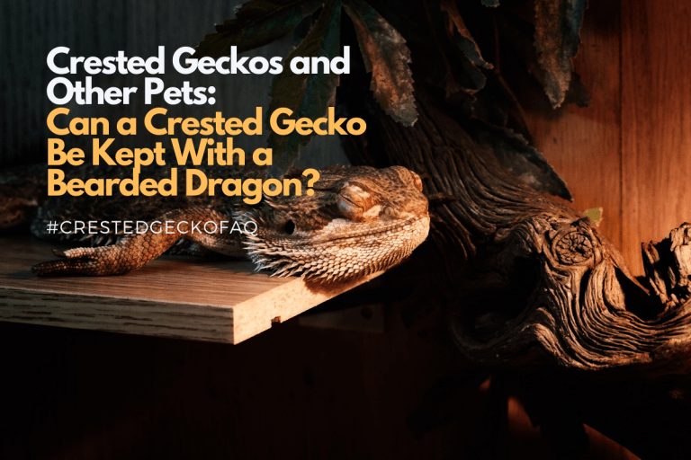 Can Crested Geckos Live With Bearded Dragons?