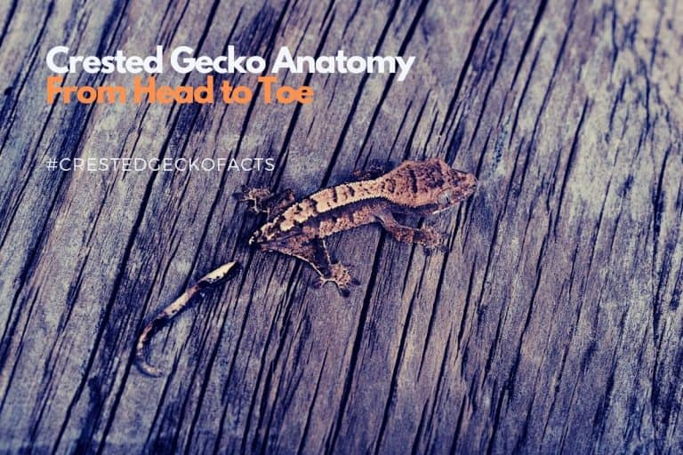 Crested Gecko Anatomy | The Crested Gecko from Head to Toe