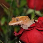 crested gecko in flower
