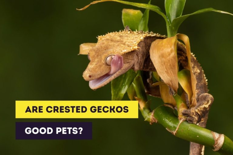 Are Crested Geckos Good Pets for Adults and Children?