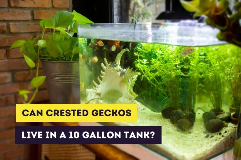 Can Crested Geckos Live in a 10 Gallon Tank? (+ Conversion Guide)