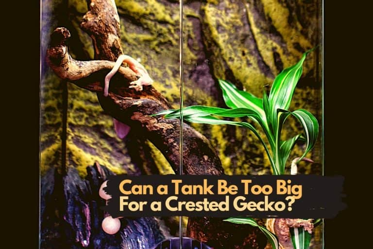 Can a Tank Be Too Big for a Crested Gecko? (Big Tank Sizes)