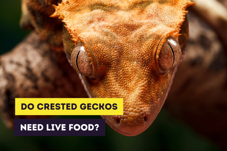 Do Crested Geckos Need Live Food? (Pro & Con of Live Food)
