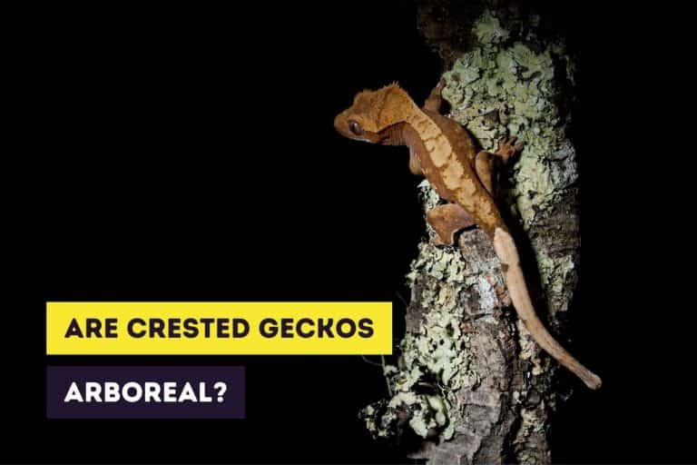 Are Crested Geckos Arboreal or Terrestrial Animals?