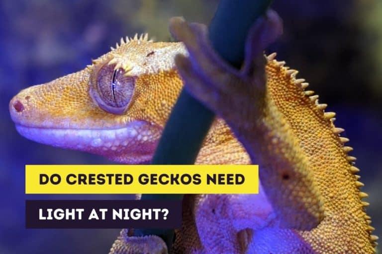 Do Crested Geckos Need a Light at Night? (Nightlights)