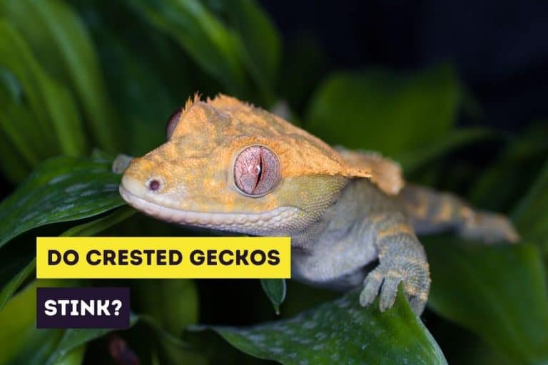 Do Crested Geckos Stink? (Causes and Solutions)