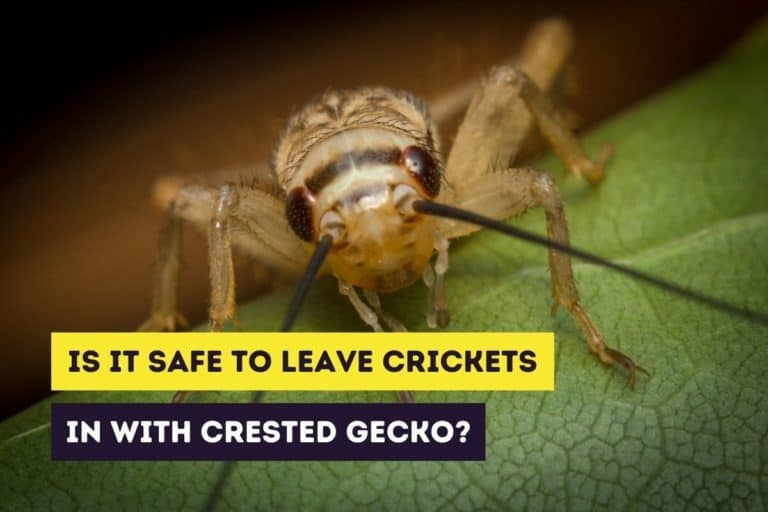 Is It Safe To Leave Crickets in With My Crested Gecko?