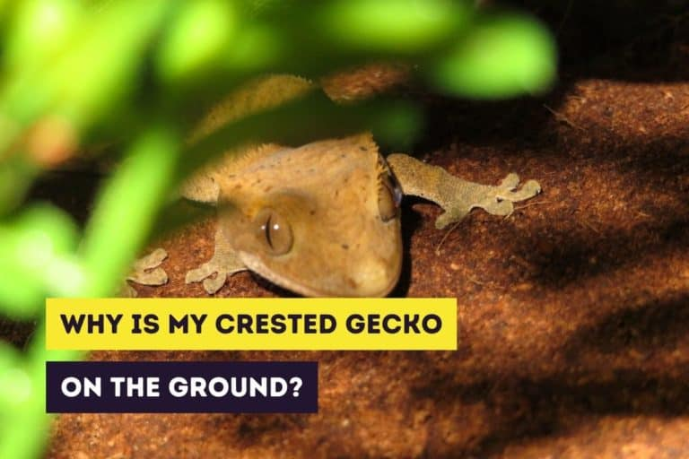 Why Is My Crested Gecko on the Ground? (Reasons & Solutions)