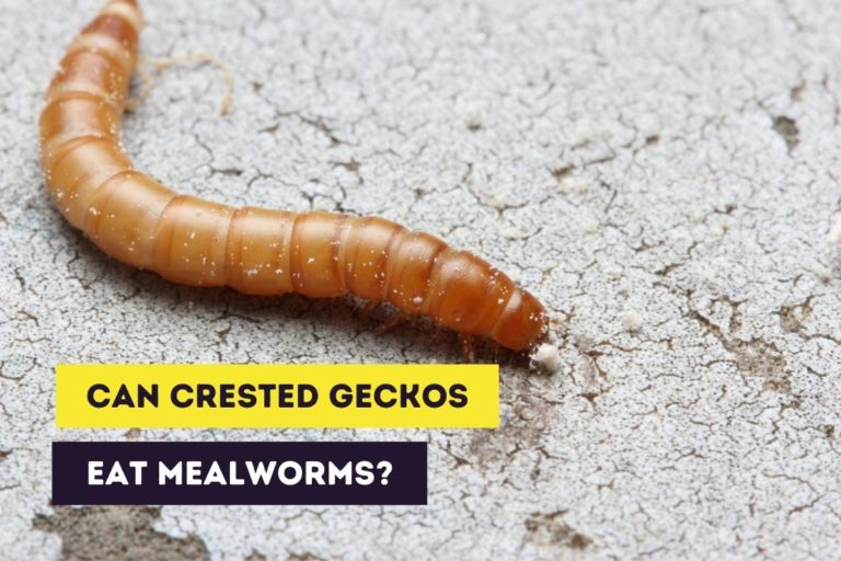 Can Crested Geckos Eat Mealworms? (Feeding Instructions)