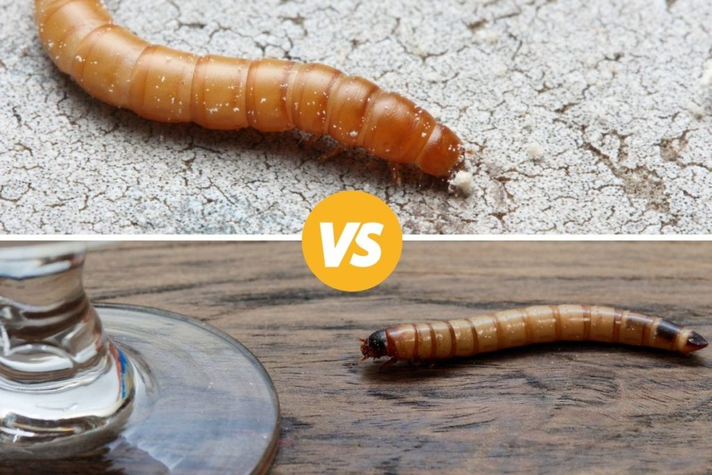 image of mealworm and superworm
